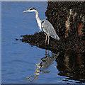 NT9952 : A grey heron at Berwick-upon-Tweed by Walter Baxter