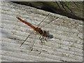 SO7844 : A common darter dragonfly by Philip Halling