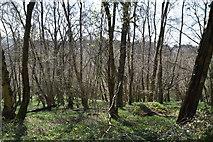 TQ5538 : Ramslye Wood by N Chadwick