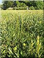 SP2964 : Wildflowers in St Nicholas Park, Warwick by Robin Stott