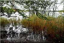 H5776 : Reeds, trees and water, Loughmacrory by Kenneth  Allen