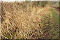 SE3461 : Reeds on Shaw Lane by Derek Harper