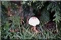TF0820 : A Parasol Mushroom by Bob Harvey