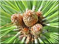 TQ4124 : Sheffield Park Gardens - Pine Cones by Colin Smith