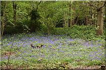 TQ5940 : Bluebells, Roundabout Wood by N Chadwick