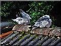 TA1231 : Wood Pigeons by Bernard Sharp
