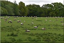TQ5942 : Field of sheep by N Chadwick