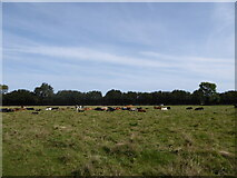 TM0533 : Constable, that's a Gainsborough: resting cows seen from St Edmund's Way by Basher Eyre