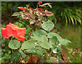 SX9065 : Raindrops on roses, Torre by Derek Harper
