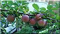 SO6023 : Ripening fruit by Jonathan Billinger