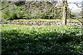 SD8589 : View over wild garlic on bank of Widdale Beck by Luke Shaw