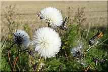 NJ4461 : Corn Sow-thistle (Sonchus arvensis) by Anne Burgess
