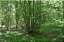 TQ5943 : Coppicing, Minepit Wood by N Chadwick