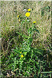 NK0161 : Smooth Sow-thistle (Sonchus oleraceus) by Anne Burgess