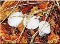 SU2266 : Fungi in leaf litter, Savernake Forest, Wiltshire by Brian Robert Marshall