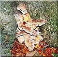 SU2266 : Bracket fungus, Savernake Forest, Wiltshire by Brian Robert Marshall