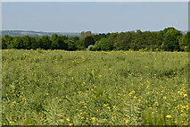 TQ6145 : Oilseed rape by N Chadwick
