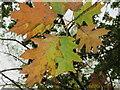 TQ1978 : Turkey oak autumn leaves close-up, Gunnersbury Park by David Hawgood