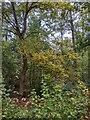 TF0820 : Autumnal oaks by Bob Harvey