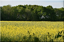 TQ6143 : Oilseed rape by N Chadwick