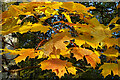 NJ3457 : Norway Maple (Acer platanoides) by Anne Burgess