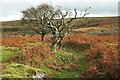 SX6870 : Trees, Holne Moor by Derek Harper
