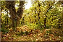 NH5857 : Oak woodland, Drummondreach Oak Wood by Julian Paren
