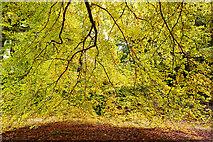 NH5857 : Curtain of beech leaves, Drummondreach Oak Wood SSSI by Julian Paren
