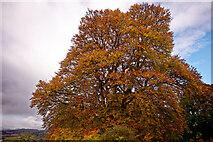 NH5857 : The goliath of Drummondreach Oak Wood - a beech by Julian Paren