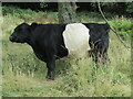 SO7645 : Malvern Hills - Belted Galloway by Colin Smith