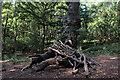 TM1131 : Gnarled Oak Tree in Furze Hill Woods by Chris Heaton