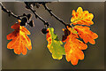 NT4936 : Autumnal oak leaves by Walter Baxter