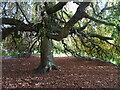 SO8891 : Himley Tree by Gordon Griffiths