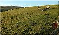 NT9816 : Sheep near Greensidehill by Derek Harper