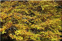 NJ5042 : Beech Foliage by Anne Burgess