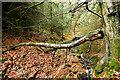 NZ0326 : Fallen Beech branch in Tinker Hills Plantation by Andy Waddington