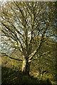 SX8870 : Beech, Haccombe by Derek Harper