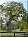 SD1096 : A veteran beech tree by Stephen Craven
