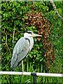 SJ9104 : Grey Heron near Fordhouses in Wolverhampton by Roger  Kidd