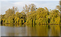 TQ6189 : Willows and Childerditch Church Lake by Roger Jones