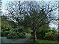 SE2039 : Prunus serrulata, Micklefield Park by Stephen Craven