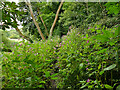 SE1124 : Himalayan balsam, Wood Bottom by Stephen Craven