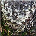 NJ4563 : Fungi on a Tree Stump by Anne Burgess