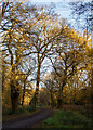 TQ3996 : Sunlight in the treetops, Ludgate Plain, Epping Forest by Roger Jones