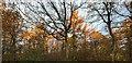 TF0820 : Gold in the treetops by Bob Harvey