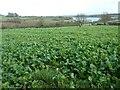 SK3623 : Turnip field, west of Derby Hills Farm by Christine Johnstone