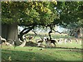 SK3623 : Fallow deer under an oak tree by Christine Johnstone