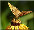 ST1334 : Silver washed fritillary butterfly by Marika Reinholds