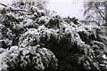 TF0820 : Snow on the evergreen by Bob Harvey