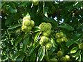 ST2885 : Sweet Chestnut tree, Tredegar Park Country Park (3) by Robin Drayton